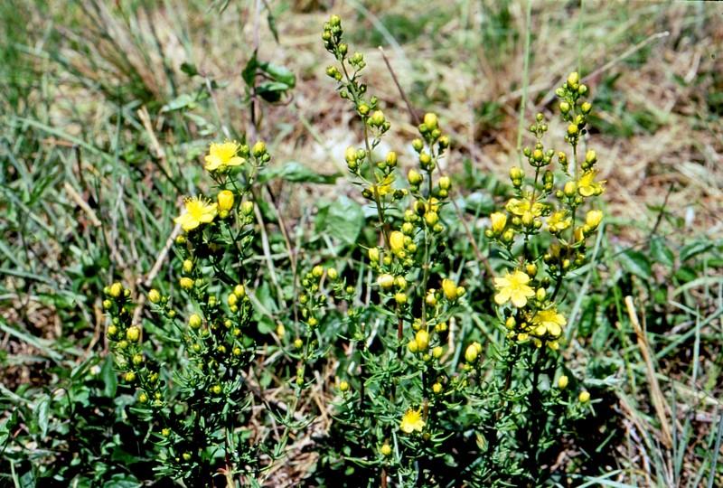 Hypericum hyssopifolium