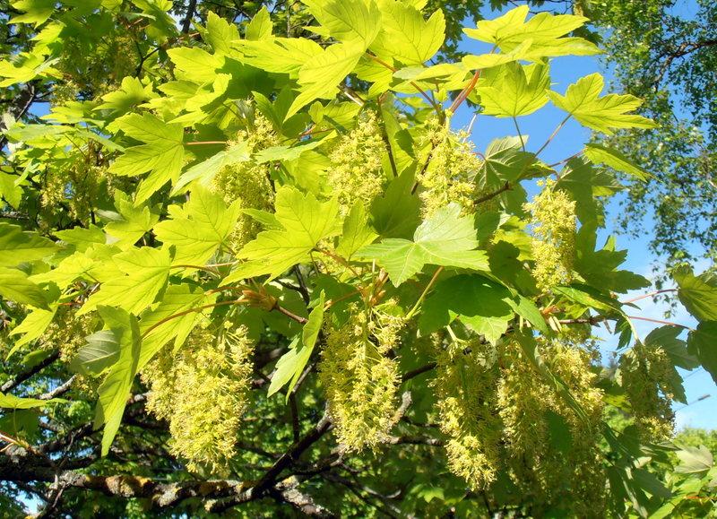 Acer pseudo platanus