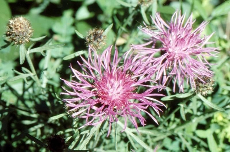 Centaurea corymbosa