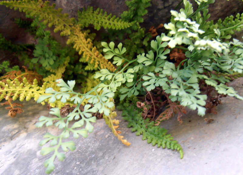 Asplenium fontanum et ruta-muraria