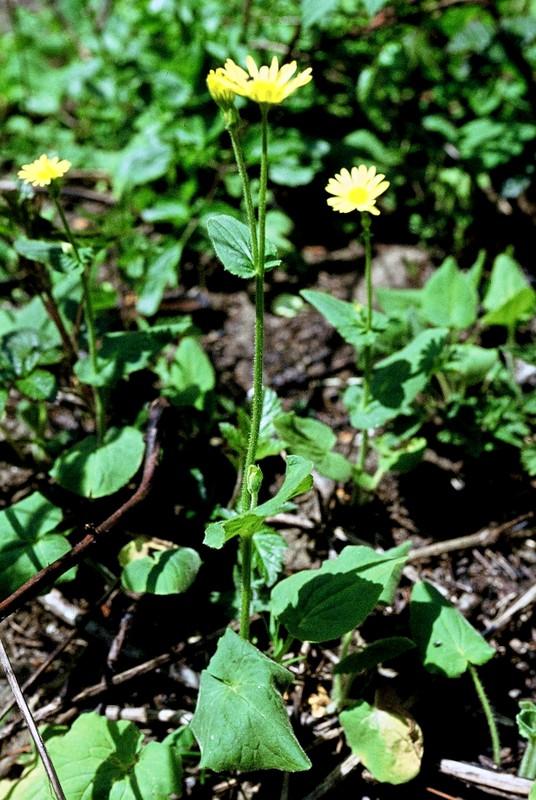 Doronicum pardallianche