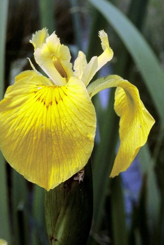 Iris pseudo-acorus