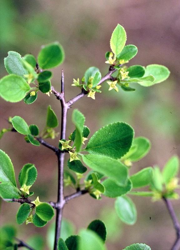Rhamnus saxatilis