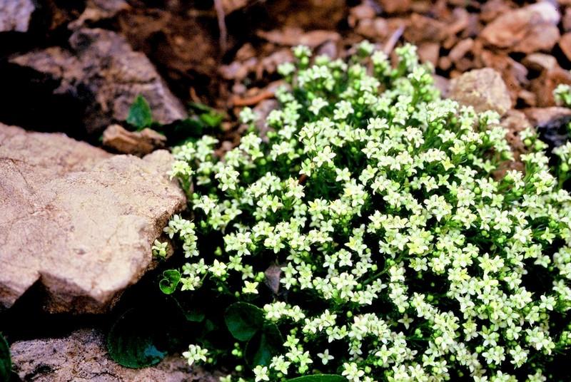 Galium caespitosum