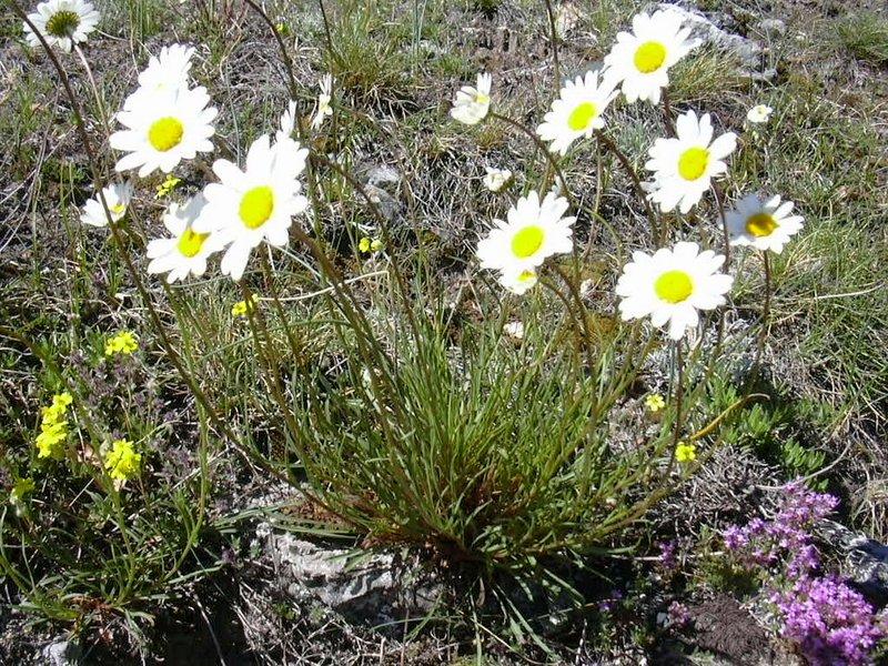 Leucanthemum graminifolium