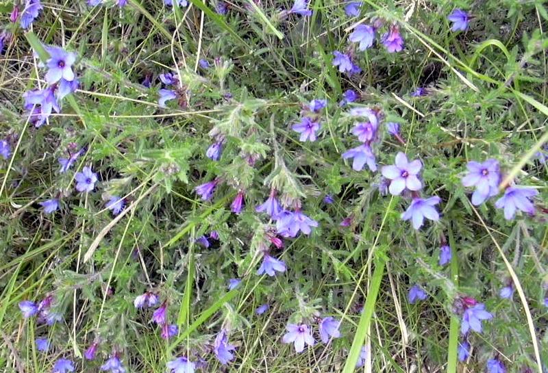 Lithodora fruticosa