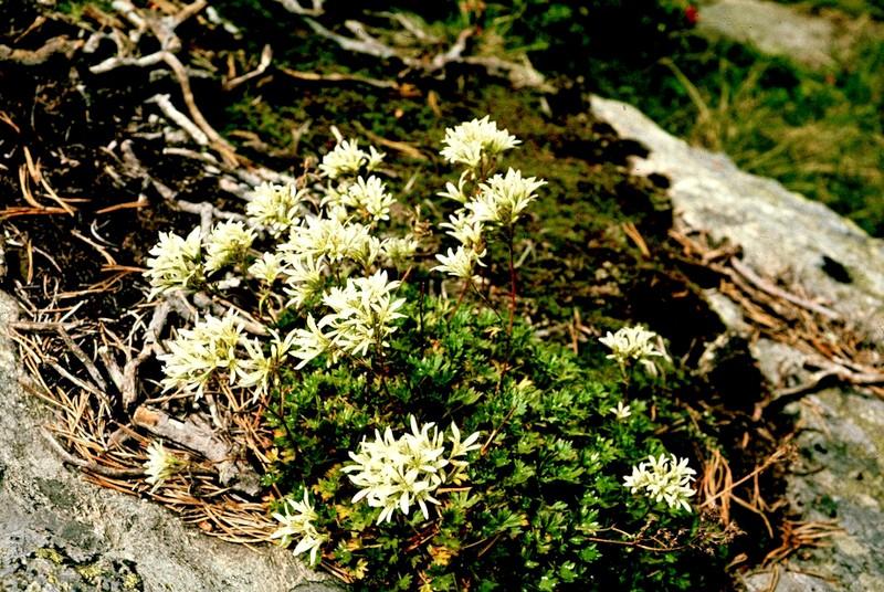 Saxifraga geranioides