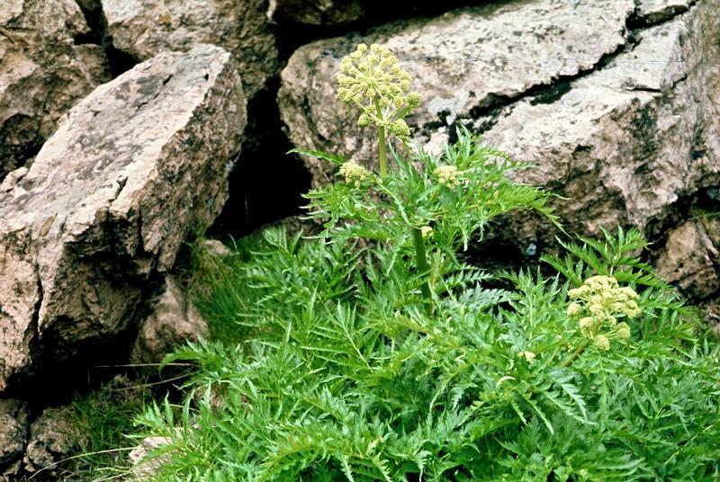 Molopospermum peloponesiacum