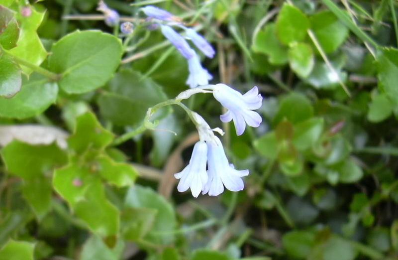 Brimeura amethistina