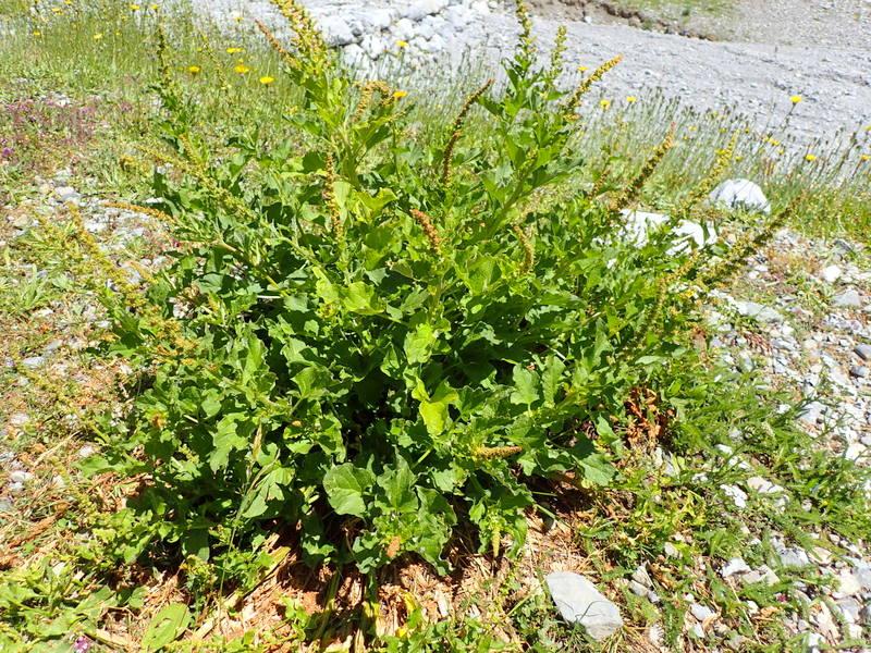 Chenopodium bonus henricus