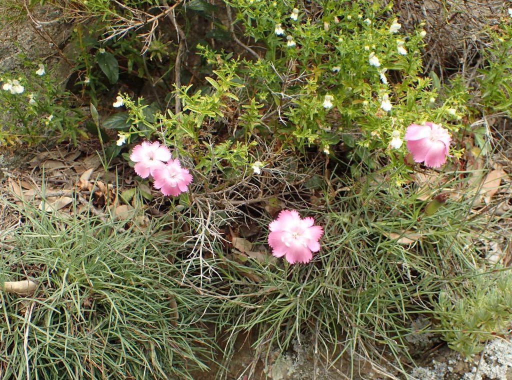 Ruisseau de Fundali vers Mercuri : Dianthus caryophyllus