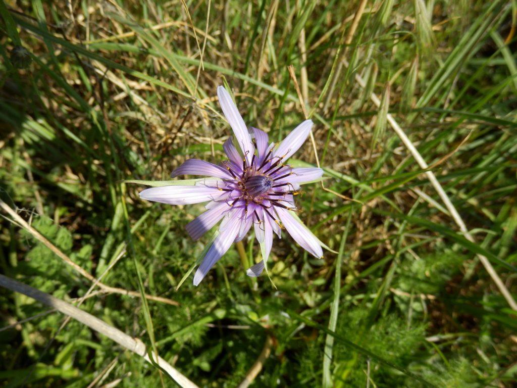 Tragopogon porrifolius à l'Arboretum au Sud de Luri vers le gué
