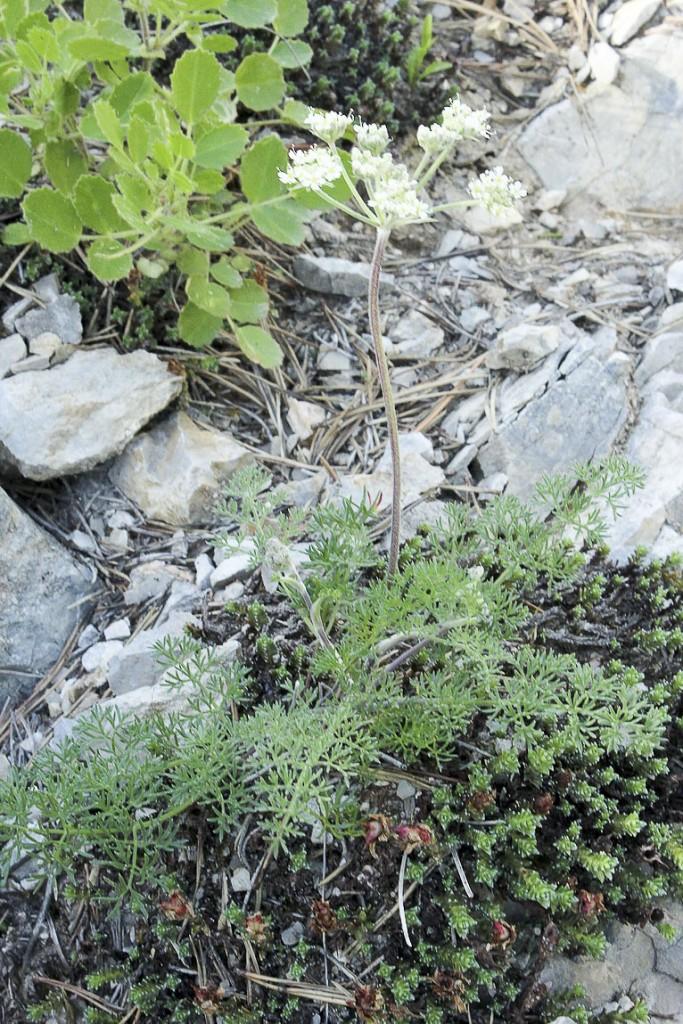 Athamanta-cretensis-L