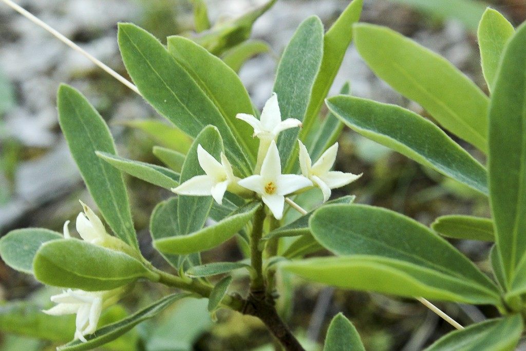 Daphne-alpina-L.
