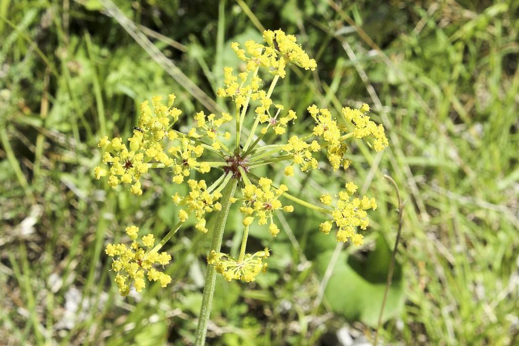 Pastinaca-sativa-subsp.-sativa-var.-arvensis-Pers.