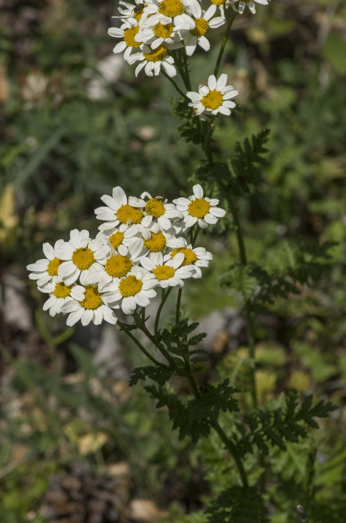 Tanacetum-corymbosum-(L.)-Schultz-Bip.